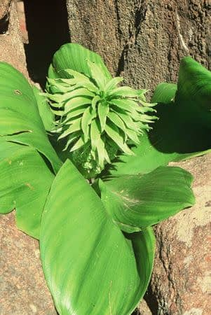 Eucomis regia - Indigenous South African Bulb - 10 Seeds