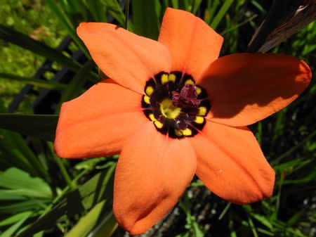 Sparaxis pillansii - Indigenous South African Bulb - 10 Seeds