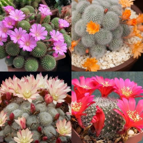 Rebutia mix  - Exotic Cacti / Succulent - 10 Seeds