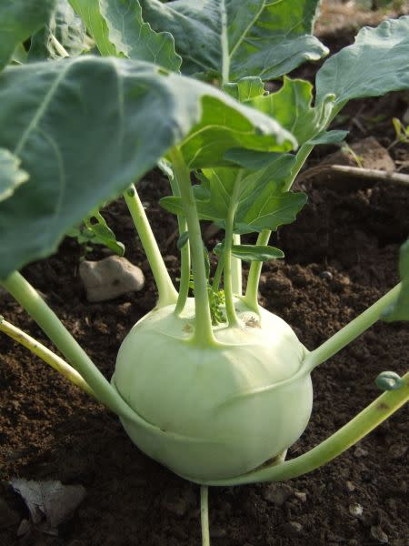 White Lanro Kohlrabi - ORGANIC - Heirloom Vegetable - 10 Seeds