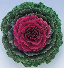 Songbird Red Kale - Ornamental Flowering Kale - 10 Seeds