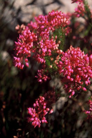 Erica inflata - Indigenous South African Heath Shrub -  10 seeds