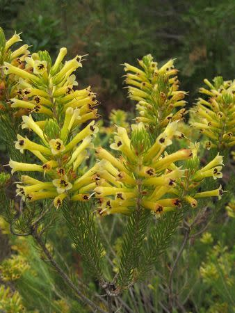 Erica pinea - Indigenous South African Heath Shrub -  10 seeds