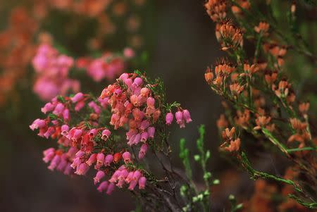Erica tenella - Indigenous South African Heath Shrub -  10 seeds