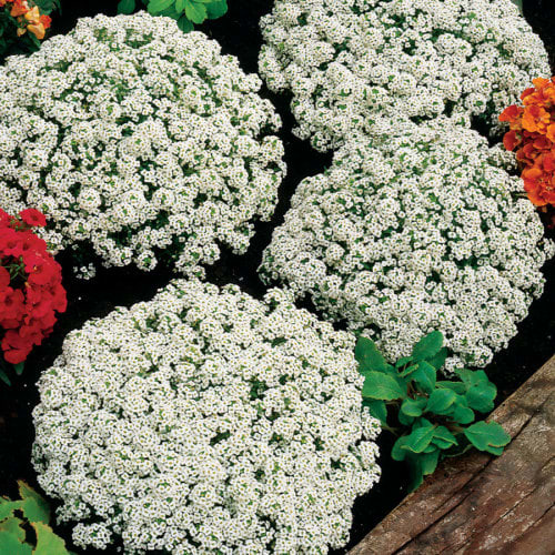 Alyssum Snow Crystals - Annual flower seeds - 25 seeds