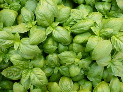 Basil Eleonora - Delicious fast growing basil - 50 seeds