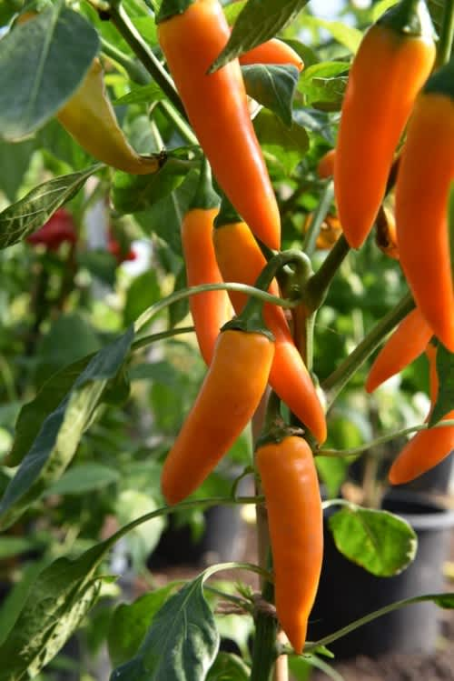 Pot Chilli Pepper Capsicum  Carrot -  Patio, container chilli pepper - 5 seeds