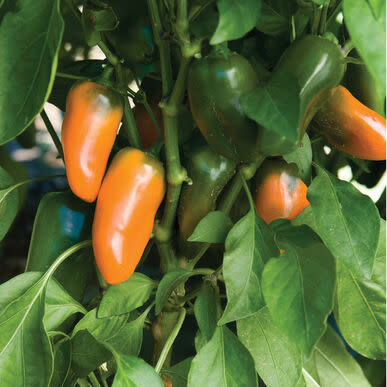 Pot Pepper Capsicum  Snack  Orange - Container patio sweet bell snacking pepper - 5 seeds