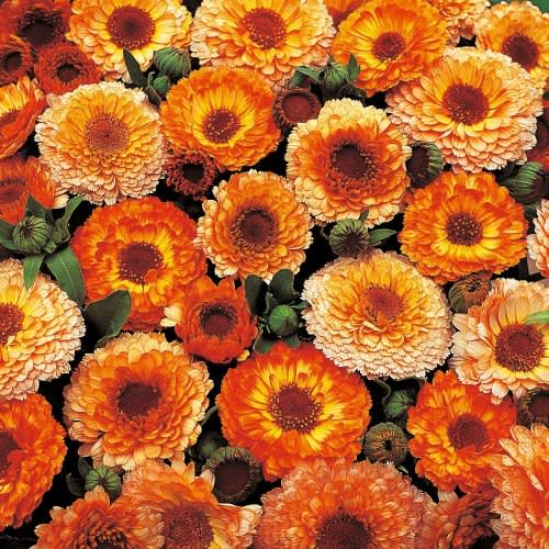 Calendula Sunset Mix - Beautiful annual flower mix - 25 seeds