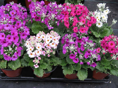 Primula malacoides Mix - Summer bedding plants - 25 seeds