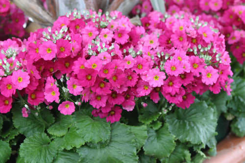 Primula malacoides Pink Shades - Summer bedding plants - 25 seeds