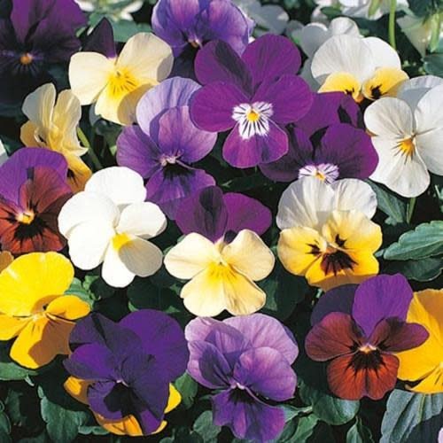 Viola Large Scotch Hybrid Mix - Stunning perennial Viola mix in beautiful colours - 20 seeds