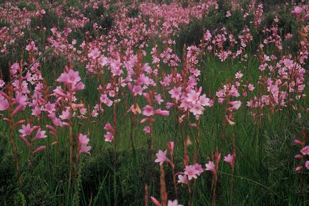 Watsonia Laccata - Indigenous South African Bulb - 10 Seeds