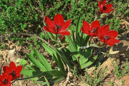 Babiana Villosa - Indigenous South African Bulb - 10 Seeds