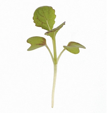 Red Giant Mustard - Microgreen Seeds