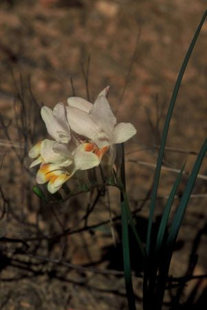 Freesia Caryophyllacea - Indigenous South African Bulb - 10 Seeds