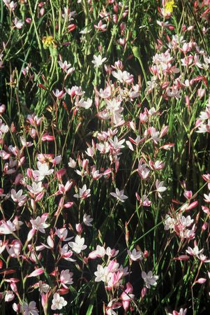Hesperantha Cucullata - Indigenous South African Bulb - 10 Seeds