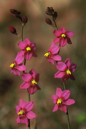 Ixia Scillaris - Indigenous South African Bulb - 10 Seeds