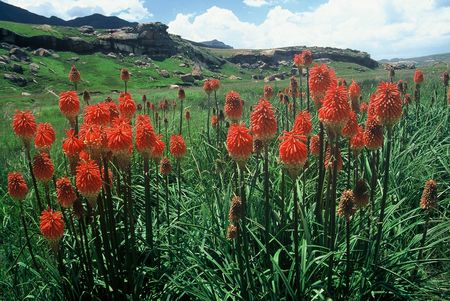 Kniphofia Linearifolia - Indigenous South African Bulb - 10 Seeds