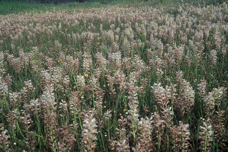 Lachenalia Alba - Indigenous South African Bulb - 10 Seeds