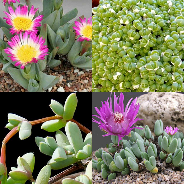 Antimima Mixed Species - indigenous succulent - 10 seeds