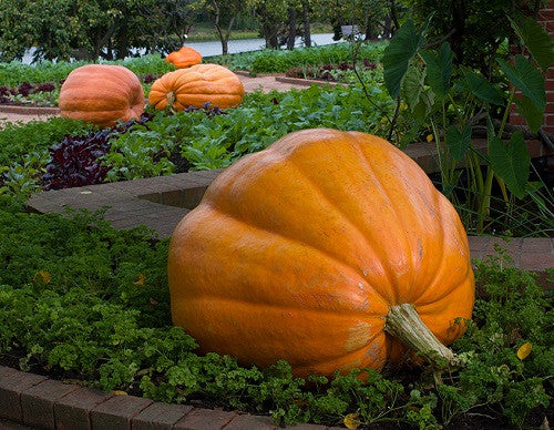 Atlantic Giant Pumpkin - Cucurbita Maxima - 5 Seeds - Grows up to 500kgs!!!