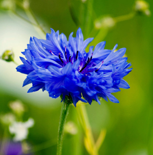 Cornflower Blue Boy / Bachelor Buttons - Bulk Flower Seeds