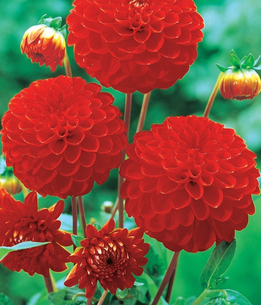 Dahlia Flower Bulbs - Pompon - Bell Boy - 2 Bulbs (Not Seeds)
