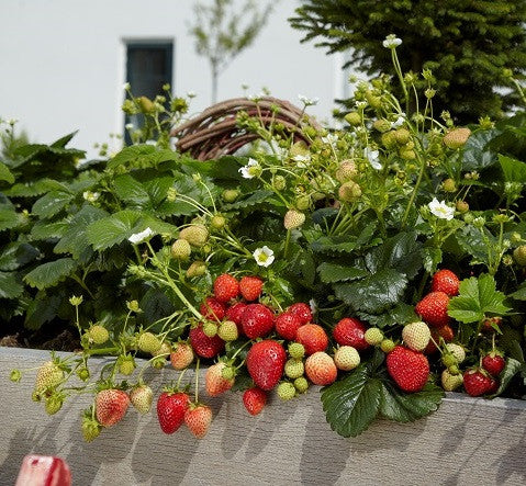 Beltran F1 Strawberry - Fragaria - Easy to grow Container Strawberry - Fruit - 5 Seeds