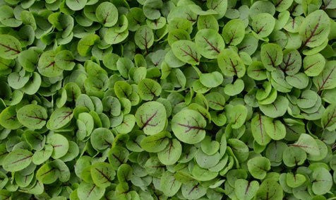 Bloody Sorrel - Microgreen Seeds