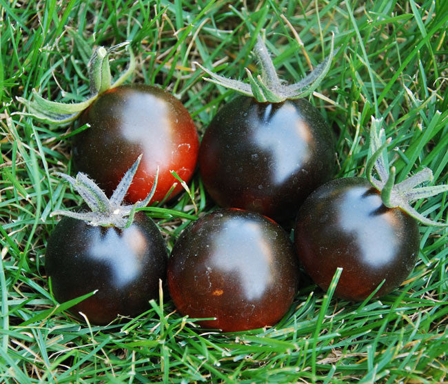 Blue Streak Tomato Heirloom Vegetable - Lycopersicon Esculentum - 10 Seeds - ORGANIC