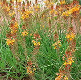 Bulbine Frutescens - Indigenous South African Succulent - 10 Seeds