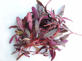 Bulls Blood Beetroot - Sprouting / Microgreen Seeds