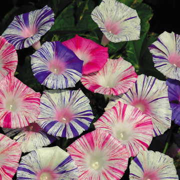 Carnival Morning Glory Climbing Vine - Ipomoea - 5 Seeds