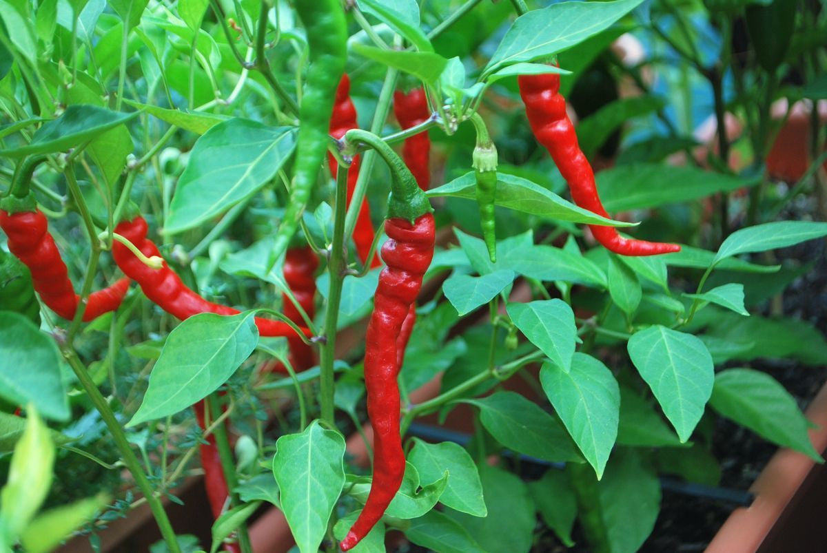 cayenne chilli pepper capsicum annuum 30 seeds seeds for africa. Black Bedroom Furniture Sets. Home Design Ideas