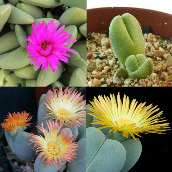 Cheiridopsis Mixed Species - indigenous succulent - 10 seeds