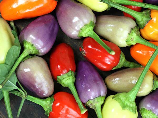Chinese 5 Colour Chilli Pepper - Capsicum annum - Heirloom Vegetable - 10 Seeds