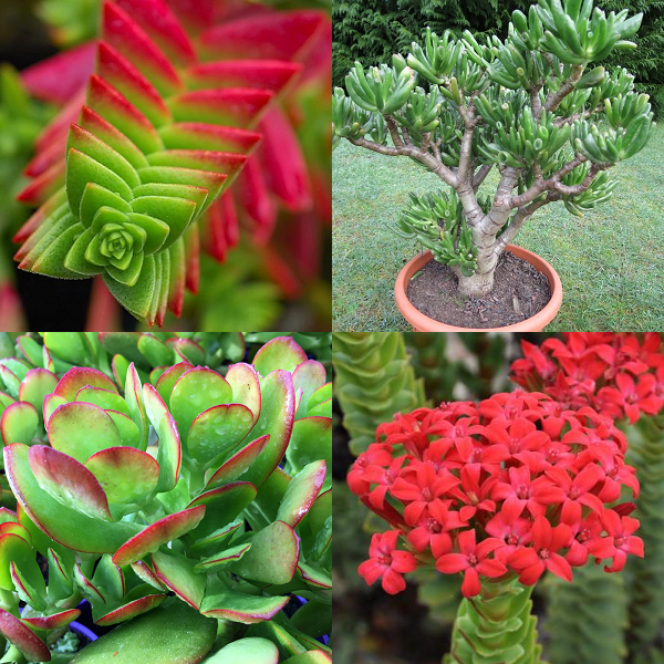 Crassula Mixed Species - indigenous succulent - 10 seeds