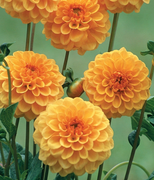 Dahlia Flower Bulbs - Pompon - Amusing - 2 Bulbs (Not Seeds)