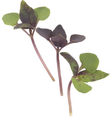 Dark Opal Purple Basil - Microgreen Seeds
