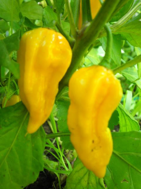 Devils Tongue Yellow - Capsicum Annuum - Chilli Pepper - 5 Seeds