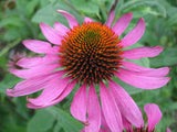 Echinacea purpurea - Purple Coneflower - Bulk Herb Seeds - 20 grams