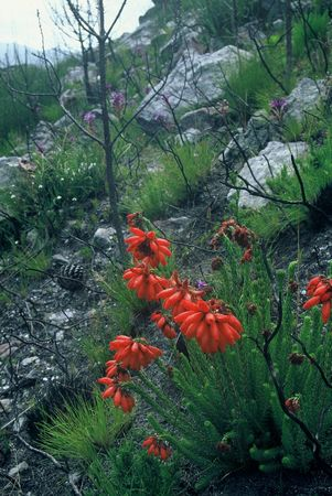 Erica Cerinthoides - Indigenous South African Heath Shrub - 10 Seeds