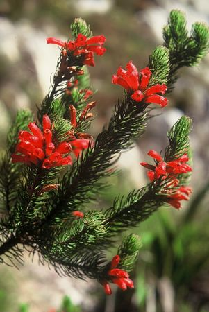 Erica Viscaria ssp Longifolia - Indigenous South African Heath Shrub - 10 Seeds