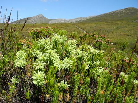 Erica Sessiliflora - Indigenous South African Heath Shrub - 10 Seeds
