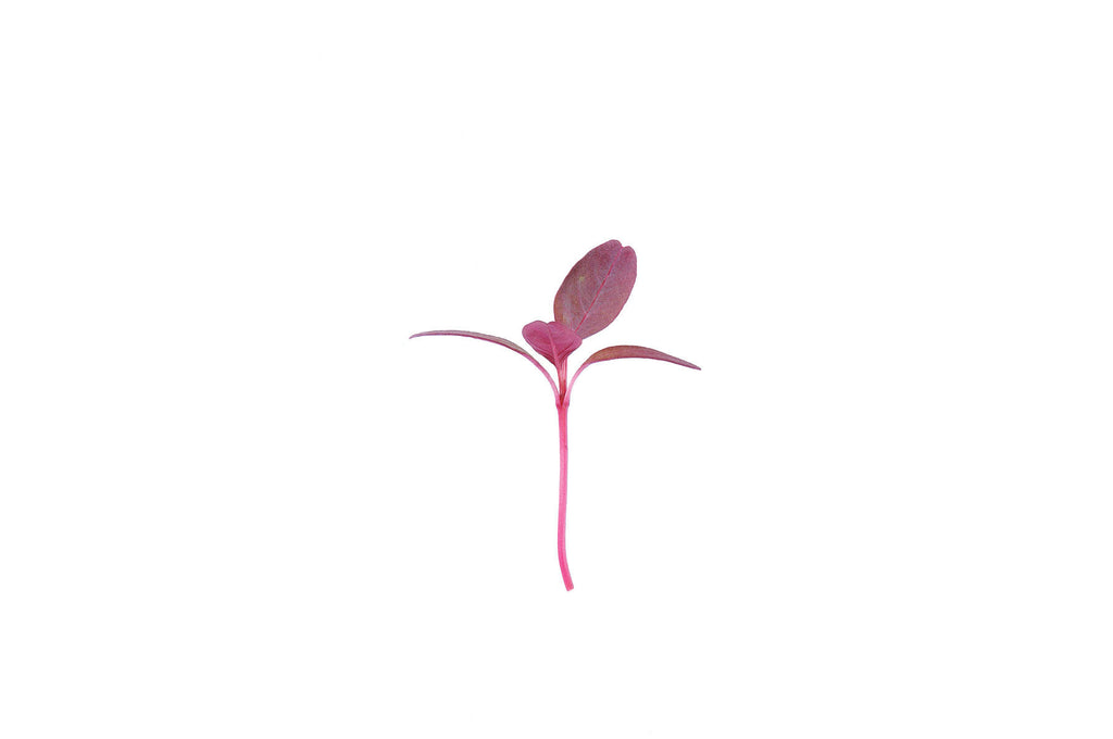 Garnet Red Amaranth - Sprouting / Microgreen Seeds