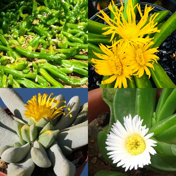 Glottiphyllum Mixed Species - indigenous succulent - 10 seeds