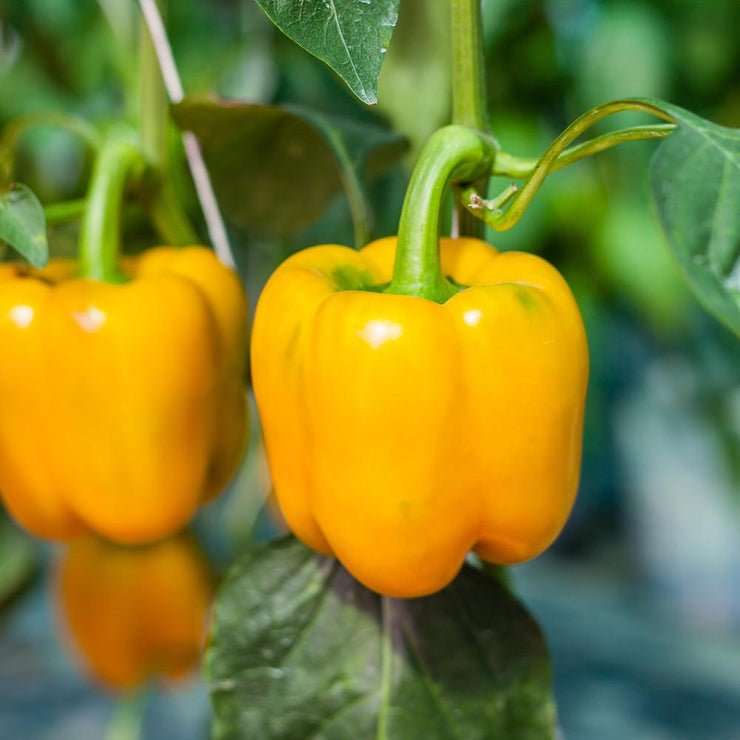 Golden Yellow California Wonder Sweet Bell Pepper - Bulk Vegetable Seeds - 200 seeds