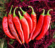 Guajillo Chilli Pepper - Capsicum Annuum - 10 Seeds