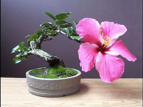 Hibiscus Syriacus Common Hibiscus Rose Of Sharon Bonsai Tree